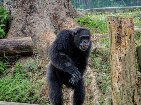 simia troglodytes: close up of a male chimpanzee asking abot food