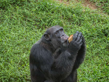 close up of a male chimpanzee eating durian