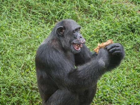 simia troglodytes: close up of a male chimpanzee eating durian