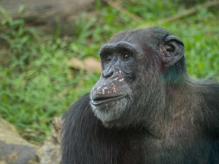 simia troglodytes: close up of a male chimpanzee