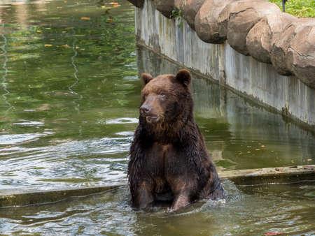 arctos: Brown bear (Ursus arctos) in water