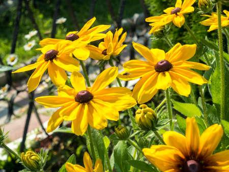 black eyed susan Rudbeckia hirta flowers background Stock Photo