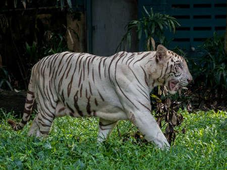 Animal: White Tiger walking on grass Stock Photo