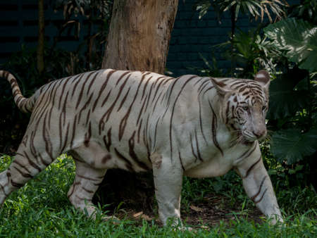 Animal: White Tiger walking on grass Stock Photo