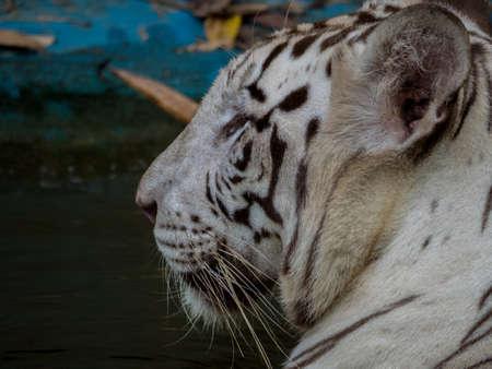 wading: A white bengal tiger cools off by wading in the water