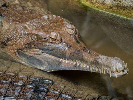 siamensis: Close up of Siamese crocodile ( Crocodylus siamensis) relaxing Stock Photo