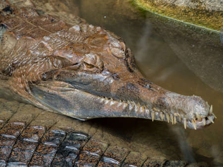 Close up of Siamese crocodile ( Crocodylus siamensis) relaxing Stock Photo