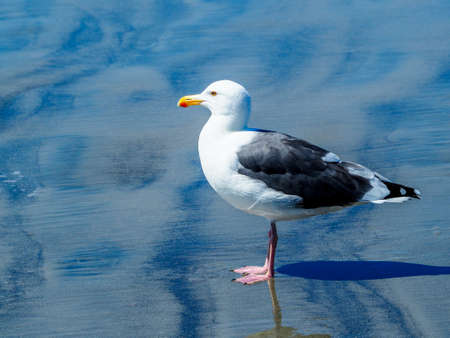 motionless: Close up of a lone seagull at the beach in the shallow surf of the ocean