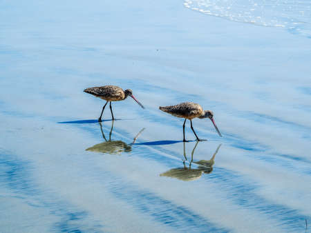 Pair of Long-billed Curlew. Numenius americanus is a large North American shorebird of the family Scolopacidae