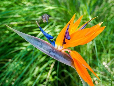 Hummingbird feeds on nectar from a colourful Bird of Paradise flower Stock Photo