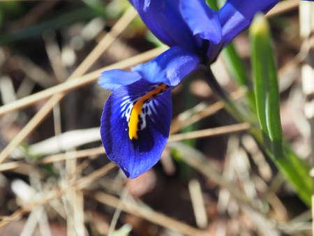 reticulata iris: Iris reticulata Iridodictyum growing in wildlife. Macro
