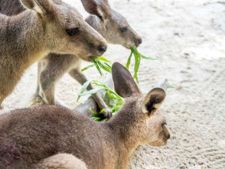 Group of kangaroos feeding in the park
