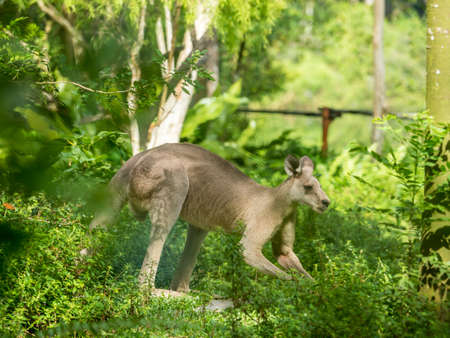 Beautiful and cute kangaroo in the park Stock Photo