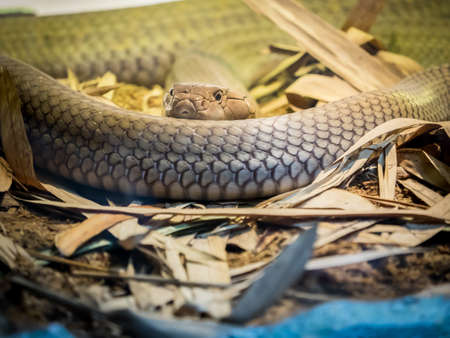King cobra curled on the sand close up Stock Photo