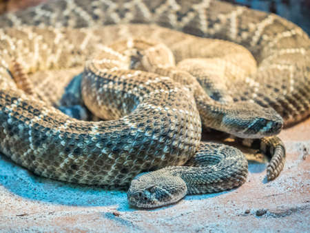 Portrait of a Southern Pacific Rattlesnakes close up
