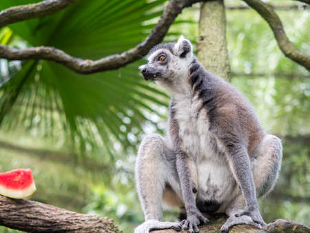 beautiful black and white ring-tailed lemur close up profile