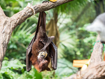 scary flying fox on tree eating fruits in the zoo