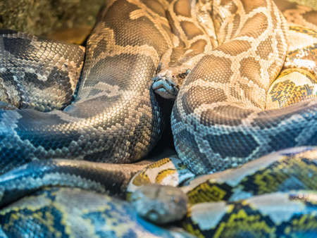 Group of Royal Pythons, or Ball Pythons Python regius
