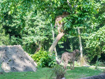 Cheetah or cheeta, fastest land animal, large felid of the subfamily Felinae walking on the grass