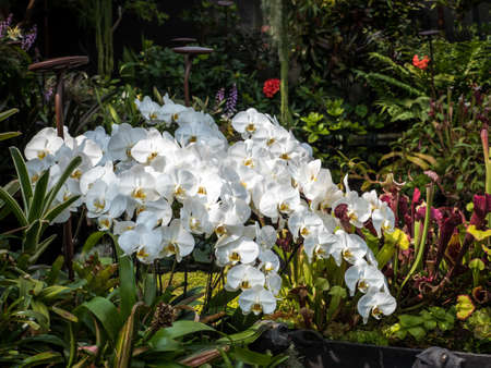 Beautiful White Water Orchid in the garden