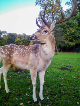 Adult Red Deer Stag in autumn park