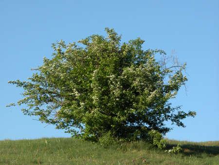 Hawthorn inflourenscence photo