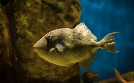 Fish: a Balistes Capriscus