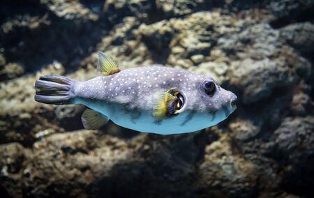 Fish: a Arothron hispidus