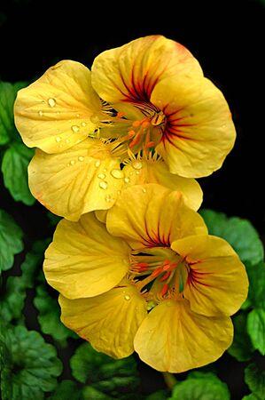 Whirlybirds (Nasturtium)