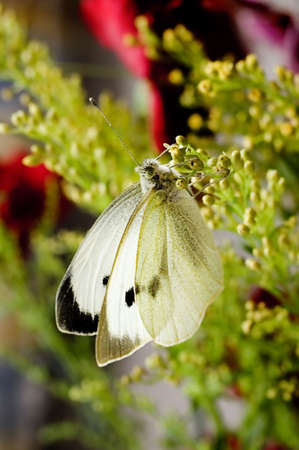 emphasise: Large White Butterfly,backlighting used to emphasise wing details.  Stock Photo