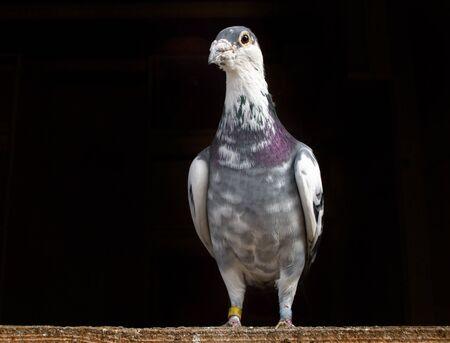 Racing Pigeon sitzt auf Holz vor einem schwarzen Hintergrund.