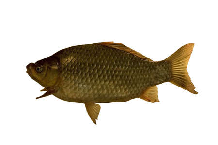 The big thick crucian allocated on a white background.