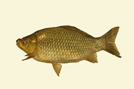 crucian: The big thick crucian placed on a white background. Stock Photo