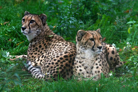 inaction: Two cheetahs who are becoming stupid from inaction