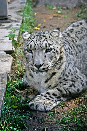 ounce: an ounce or the snow leopard chewing a green grass