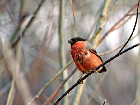 Wet tailless the bullfinch dries on a branch of a tree. photo