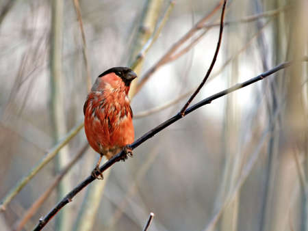 Wet tailless the bullfinch dries on a branch of a tree. Stock Photo - 771590
