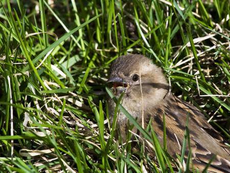 Scared sparrow overtaken unawares.