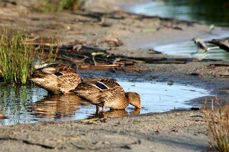 Pair of ducks. photo