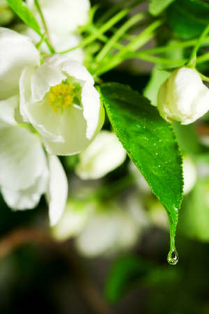 Water drop on the apple blossom. photo