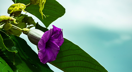 close up violet flower and green leafe with blue sky background