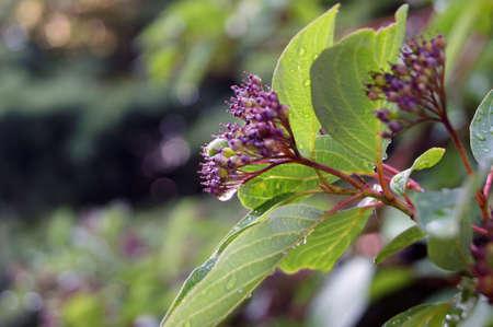 Garden deciduous plant