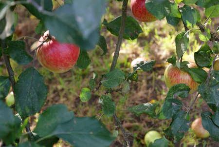 Ripening on tree apples  Stock Photo