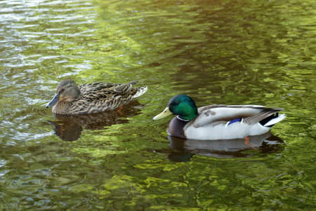 Wild ducks afloat, male and female  Stock Photo