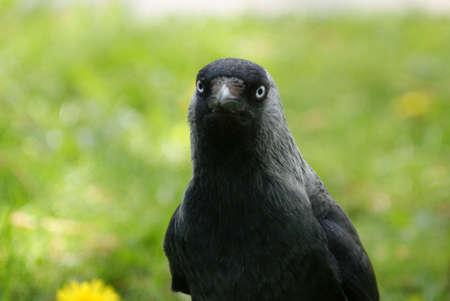 Jackdaw, wild bird