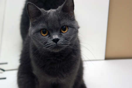 British blue cat sitting and looking at the camera