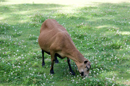 Brown Sheep on green pasture  Stock Photo