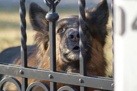 a watchman: German Shepherd barking from behind a fence.