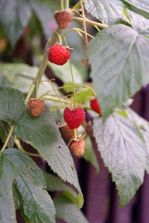 A couple of ripe raspberries on the bush.