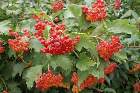 Fruits Acacia.